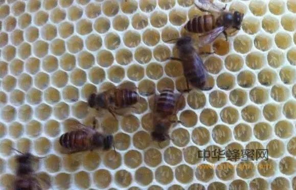 防治蜜蜂孢子虫病的八条措施