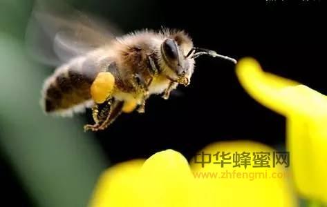 怎样发现蜜蜂生病了?