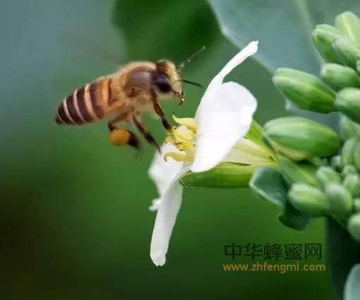蜜蜂采集蜂花粉的全过程