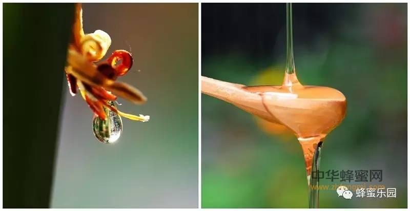 【为什么蜂蜜】_蜂蜜与花蜜的区别,你知多少?