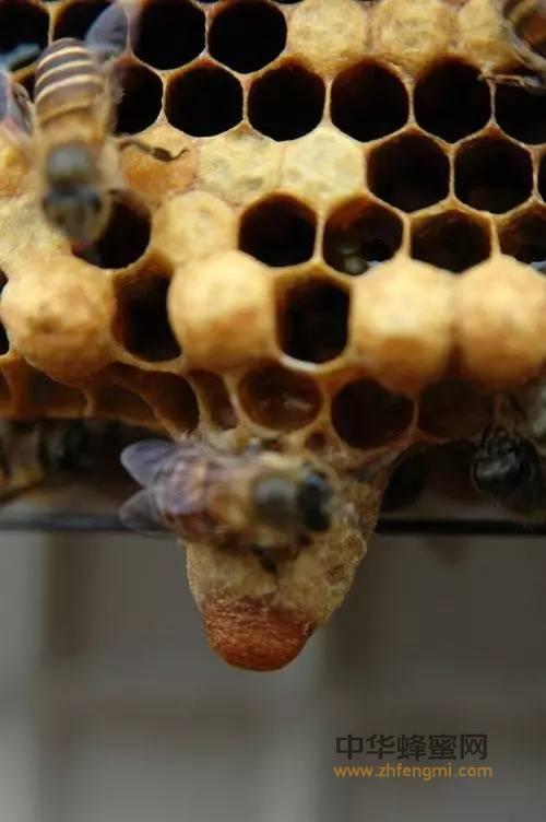 如何培育优质蜂王