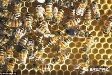 【如何用蜂蜜美容】_蜂王的交配、产卵及交尾群的组织和管理