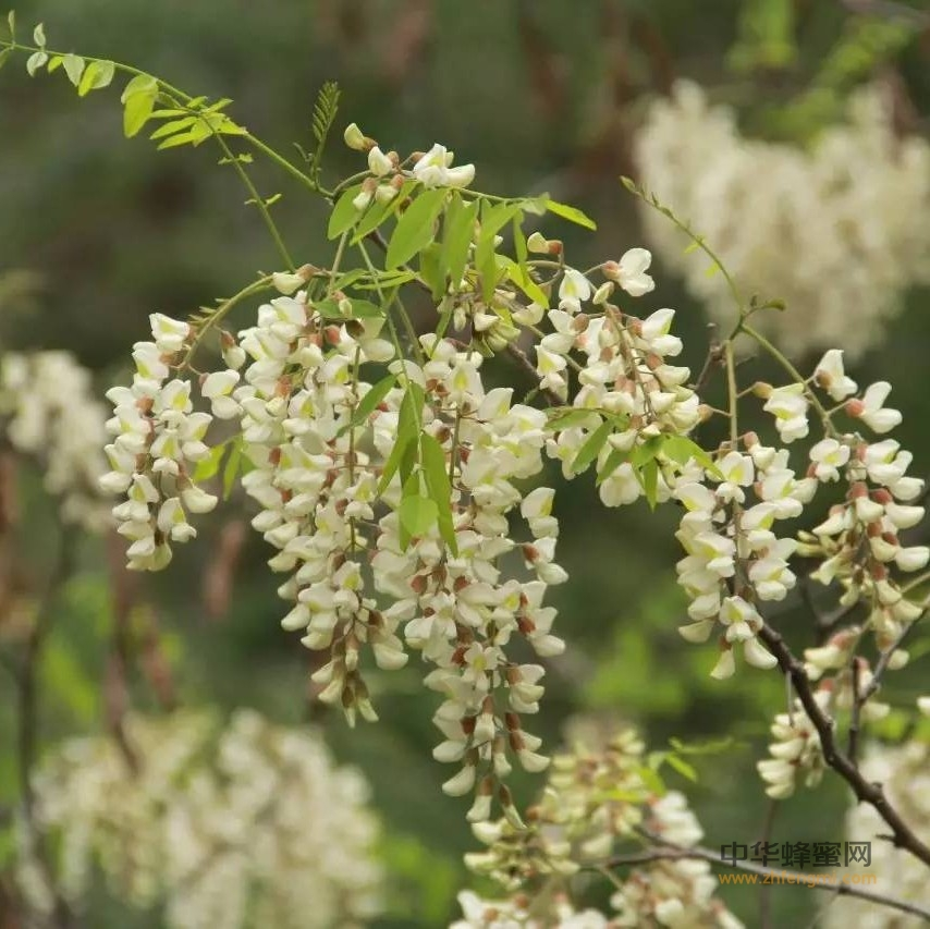 槐花蜜,中国最好的蜂蜜之一,出口第一!