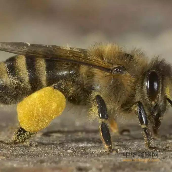为什么男人要吃蜂花粉