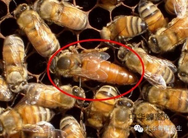 吃得好才能地位高;幼蜂成为蜂后要靠蜂王浆!