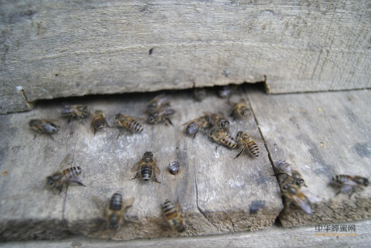 【蜜蜂蜜蜂】_中蜂蜂王诱入的几种方法