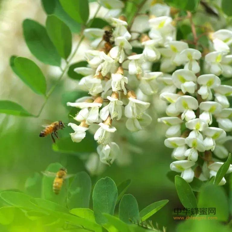 纯正最好的洋槐蜜是什么颜色的?