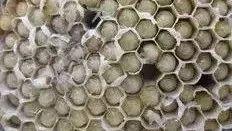 保健食品中的新贵——雄蜂蛹