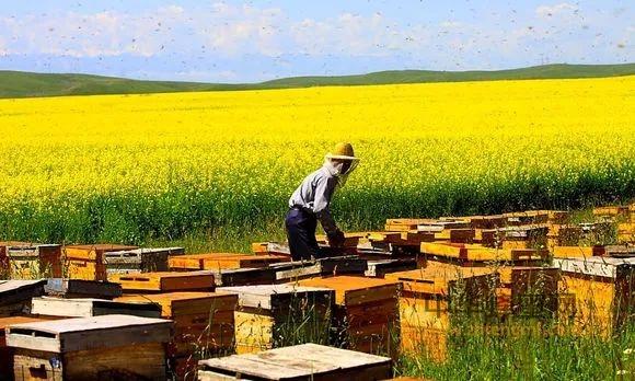 【蜂蜜食用】_嫁人就嫁养蜂人;全是极品好男人!