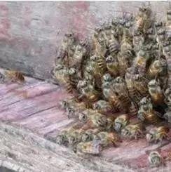 蜜蜂能飞得比珠峰高?