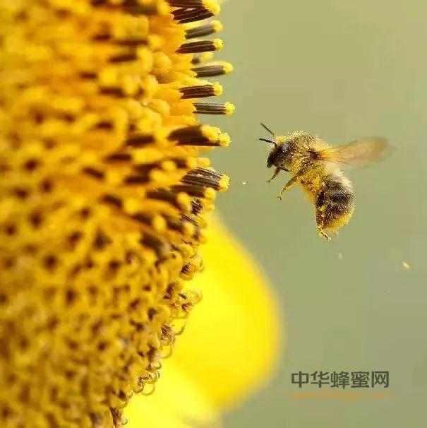 【视频】酿造蜂蜜,蜜蜂到底费了多大力气?我们该好好珍惜蜂蜜爱护蜜蜂!