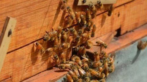 【蜂蜜祛斑的小窍门】_蜜蜂常见病中药防治(一)