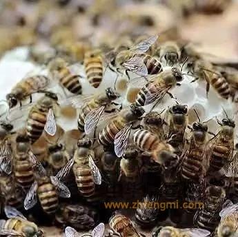【孕妇蜂蜜】_中华蜜蜂的优点