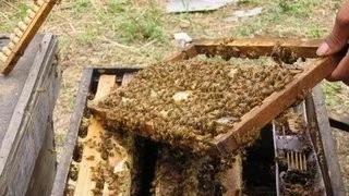 【蜂蜜白醋减肥】_蜜蜂怎样从弱群发展为强群
