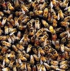 蜂尸能治愈因流感引起的咳嗽