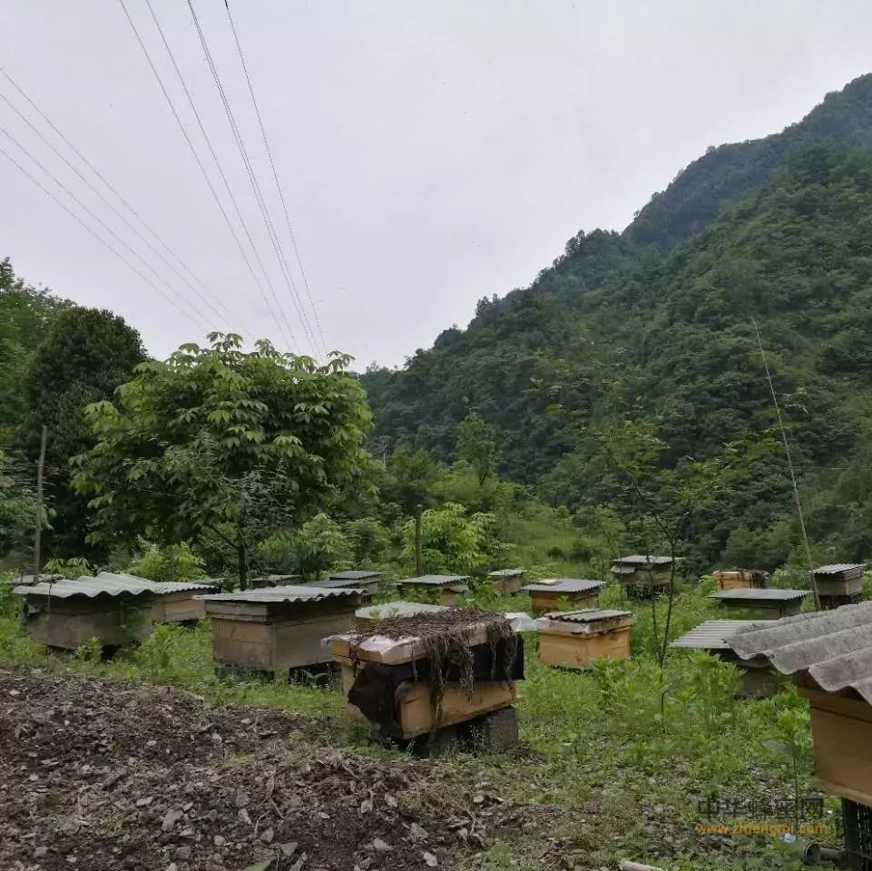 桶养中华蜜蜂的过箱详细饲养技术