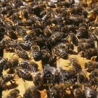 怎么帮助蜜蜂对付天敌