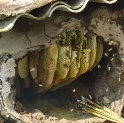 割蜜后影响蜜蜂出逃的原因有哪些