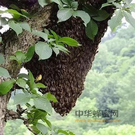 中华蜜蜂<a