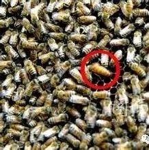 【什么品牌蜂蜜最好】_蜜蜂病敌害防重于治