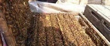 【蜂蜜减肥食谱】_美国培育具有卫生行为的蜜蜂品系