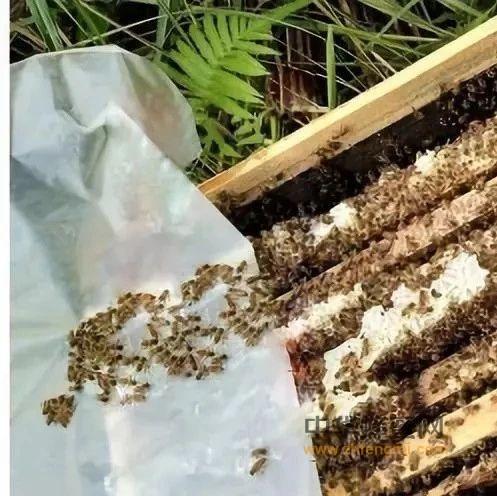 【枸杞蜂蜜】_中蜂强群怎么养不分蜂