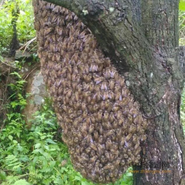 捕蜂造脾一招