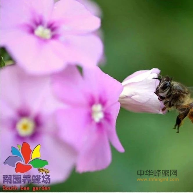 新收的蜜蜂怎么管理才好