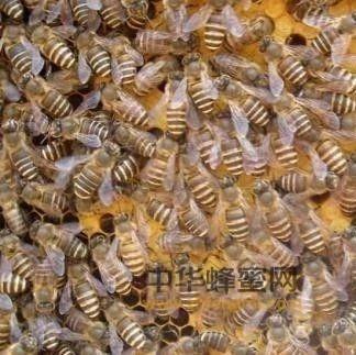 蜜蜂爬蜂病的防治措施