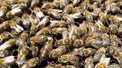 蜜蜂秋繁南北有差别
