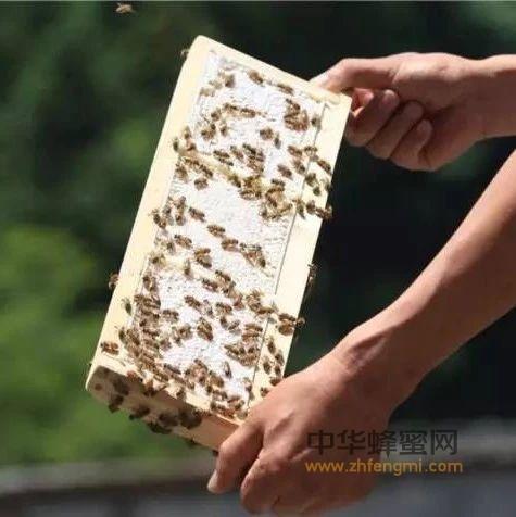 蜜中极品-蜂巢蜜,嚼着吃的深山自然味道!