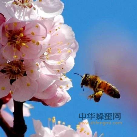 【蜂蜜减肥有用吗】_刘姐说蜂|话说蜂花粉---揭开神奇的蜂产品之谜(之二)