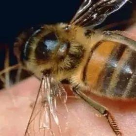 【珍珠粉蜂蜜面膜】_蜜蜂蜇伤处理措施
