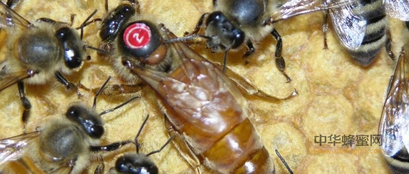 蜂种推介|吉林省养蜂科学研究所优良蜂种介绍(11)——松丹2号蜜蜂