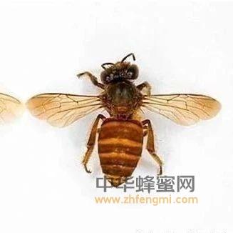中蜂和意蜂形体区别