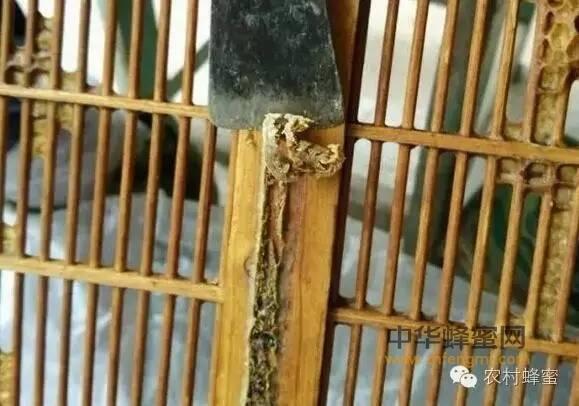 蜂胶很珍贵,一群蜂一年仅能生产100~500克