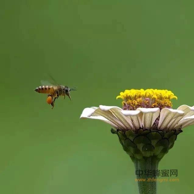 蜜蜂减少,果农不得不人工授粉