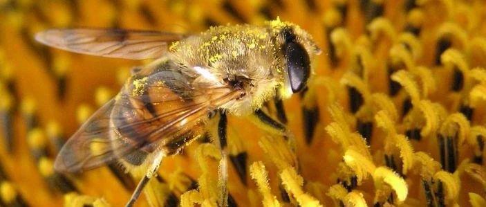 为什么男人要吃蜂花粉?