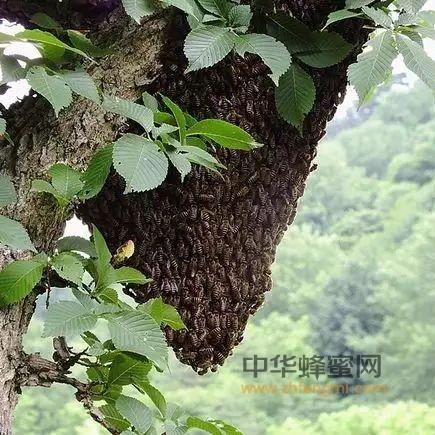 中蜂人工分蜂技巧教程