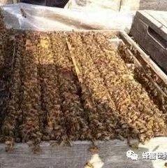 【蜂蜜和白醋减肥法】_养蜂之如何组织双王群