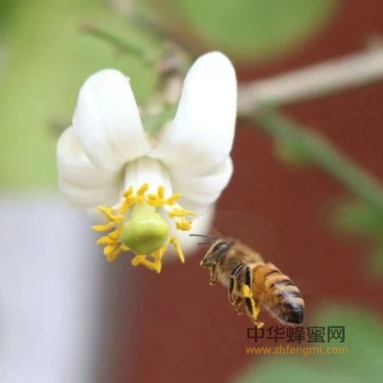 蜂业论坛 蜜蜂授粉与蜂业发展