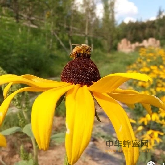 刘姐说蜂|啥样的花更吸引蜜蜂