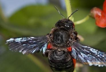东北黑蜂演化史概述