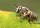蜜蜂吃什么 蜜蜂 什么蜂蜜好 蜂蜜牛奶 白醋加蜂蜜