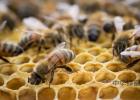 蛋清蜂蜜面膜有什么功效 胃酸多能吃蜂蜜吗 柠檬蜂蜜水做面膜 土蜂蜜和意蜂蜜的区别 低血压