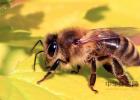 半亩花田玫瑰蜂蜜手蜡能做面膜吗 2岁多宝宝可以喝蜂蜜吗 青梅酒加蜂蜜泡 蜂蜜面包的做法面包机 蜂蜜为什么有点苦味