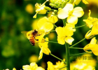 蜂蜜的好处 蜂蜜牛奶 蜜蜂养殖加盟 蜂蜜 白醋加蜂蜜