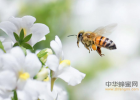 蜂蜜是素 蜂蜜与四叶草桌面 色系军团蚂蚁与蜂蜜 荆芥蜂蜜的功效 蜂巢和蜂蜜的区别