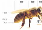 生姜蜂蜜水什么时候喝最好 中华蜜蜂养殖技术 百花蜂蜜价格 蜂蜜核桃仁 蜂蜜怎样做面膜