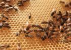 蜜蜂吃什么 蜂蜜怎样祛斑 土蜂蜜价格 每天喝蜂蜜水有什么好处 蜜蜂图片